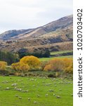 a scenic view of a sheep farm...   Shutterstock . vector #1020703402