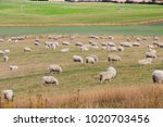a scenic view of a sheep farm...   Shutterstock . vector #1020703456