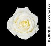 Stock photo white rose isolated on black background 1020711688
