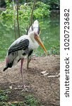 painted stork   the painted...   Shutterstock . vector #1020723682