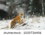Siberian Tiger  Panthera Tigri...
