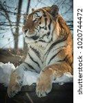siberian tiger   amur tiger  ... | Shutterstock . vector #1020744472