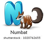 letter n is for numbat cartoon... | Shutterstock .eps vector #1020762655