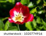 red tulips on flowerbed in... | Shutterstock . vector #1020774916