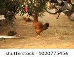 hens in a rural area | Shutterstock . vector #1020775456