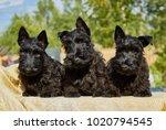 Three Black Puppy On A Sunny Day
