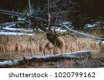 Bugling Elk in YNP