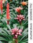 Small photo of Ornage Bromeliad flower. (Aechmea fasciata,BROMELIACEAE )