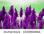 Purple Pampas Grass Tops.