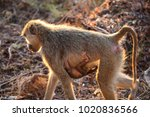 mother and baby olive baboon ... | Shutterstock . vector #1020836566