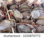 Black Crab  Giant Mud Crab....