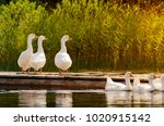 a flock of domesticated geese ... | Shutterstock . vector #1020915142
