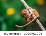 Little Hazel Dormouse Climb Th...