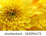 Close Up Of Yellow Flower Aste...