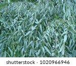 Tree  Willow Tree  Close Up ...
