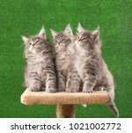 Stock photo maine coon kittens on the scratching stone over green grass background 1021002772