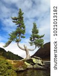 pinus mugo  creeping or dwarf...   Shutterstock . vector #1021013182