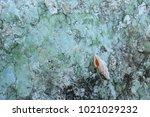 fossil shell on the sedimentary ... | Shutterstock . vector #1021029232