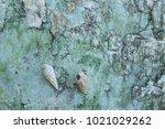 fossil shell on the sedimentary ... | Shutterstock . vector #1021029262