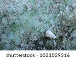 fossil shell on the sedimentary ... | Shutterstock . vector #1021029316