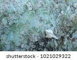 fossil shell on the sedimentary ... | Shutterstock . vector #1021029322