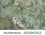 fossil shell on the sedimentary ... | Shutterstock . vector #1021042312