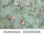 fossil shell on the sedimentary ... | Shutterstock . vector #1021042336