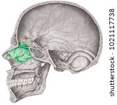 cranial cavity. the ethmoid... | Shutterstock . vector #1021117738