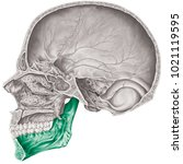 cranial cavity. the mandible... | Shutterstock . vector #1021119595