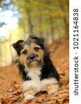 Little Terrier  Mongrel  Mixed...