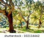 Cork Tree In Spain  Algeciras ...