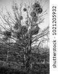 parasitic european mistletoe or ... | Shutterstock . vector #1021205932