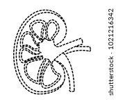 kidney section artery and vein... | Shutterstock .eps vector #1021216342