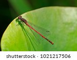 Large Red Damselfly  Dragonfly
