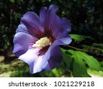 close up of a beautiful violet... | Shutterstock . vector #1021229218