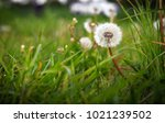 a close up shot of a dandelion... | Shutterstock . vector #1021239502