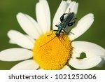 false oil beetle  thick legged ... | Shutterstock . vector #1021252006