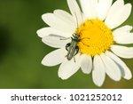 false oil beetle  thick legged ... | Shutterstock . vector #1021252012