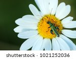 false oil beetle  thick legged ... | Shutterstock . vector #1021252036