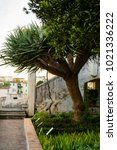 a huge plant of dracena ... | Shutterstock . vector #1021336222