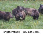 wild boar  sus scrofa  slovakia | Shutterstock . vector #1021357588