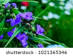 flowers of the tradescantia... | Shutterstock . vector #1021365346