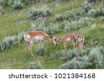 A Mother Pronghorn Antelope...