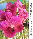 beautiful orchid fragrant in...   Shutterstock . vector #1021406416