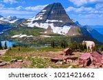 Kid Mountain Goat Overlooks...