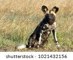 Small photo of solitary African wild dog, Laikipia Kenya