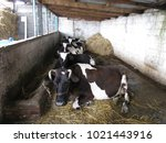 Small photo of lean-to cow barn with cows laying down and hay bales stacked outside; Lushnjë District, Albania