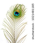 peacock feathers on a white...   Shutterstock . vector #1021481185