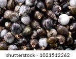 job's tears   coix lachryma... | Shutterstock . vector #1021512262