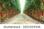 tomatoes   cherry tomatoes | Shutterstock . vector #1021525336